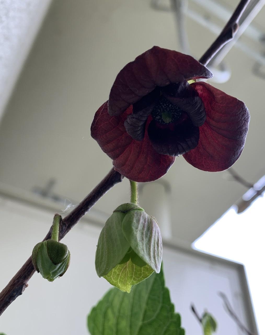 ポポーの花 下から撮影